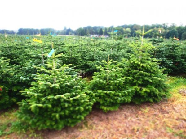 123tannenbaum-weihnachtsbaum-plantage-2015-6_600x600