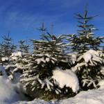 Weihnachtsbaumversand beim Testsieger Kaisertanne