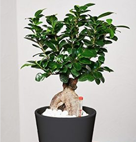 Evrgreen ficus ginseng for Bonsai hydrokultur